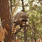 Racoon by WesternArt