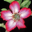 Desert Rose in bloom by Paul  Donaldson