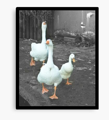 2 Geese 1 Duck Canvas Print