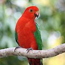 Young Male Australian King Parrot by aussiebushstick