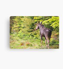 Bull Moose in Maine Canvas Print