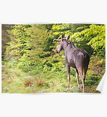 Bull Moose in Maine Poster