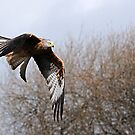 Red Tailed Hawk by Foxfire