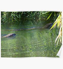 Otters in the tropical zone - Nutrias en la zona tropical Poster