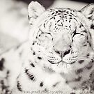 Black and White Snow Leopard by Sarah Van Geest