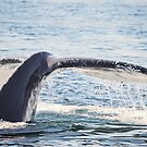 Humpback Whale Tail by Sarah Van Geest