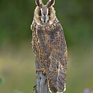 Long Eared Owl by Val Saxby