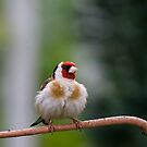 Fluff Ball - European Goldfinch by Janika