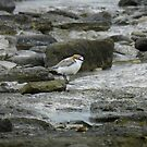 Red-capped Plover (Charadrius ruficapillus) - Point Lowly, South Australia by Dan Monceaux