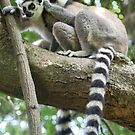 Ringtail Lemurs Grooming in Madagascar by Jane McDougall