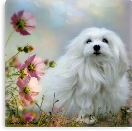 Snowdrop the Maltese - A Soft Summer  Breeze by Morag Bates