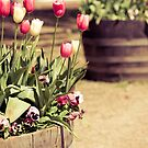 Pink and white tulips by Amanda-Jane Snelling
