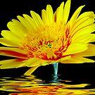 Yellow Gerbera by Rainy