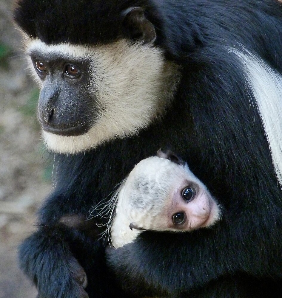 Mother And Baby Colobus by Margaret Saheed