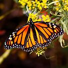 Monarch Butterfly by AnnDixon