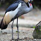 African Grey Crowned Crane - Singapore.  by Ralph de Zilva