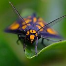 Tiger Moth by Gabrielle  Lees