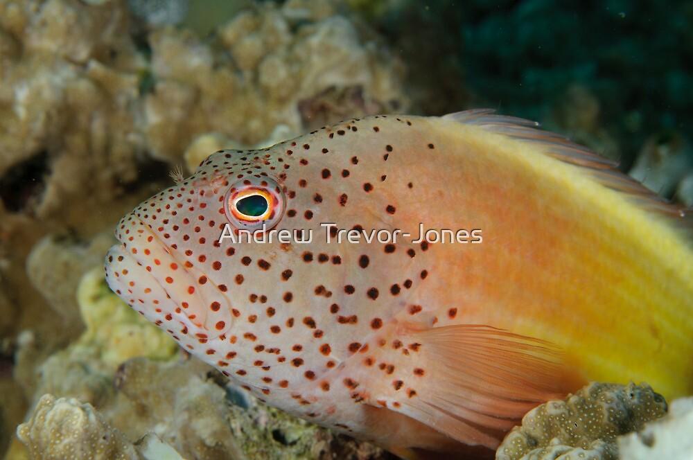 Blackside hawkfish - Paracirrhites forsteri by Andrew Trevor-Jones