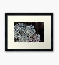 Reindeer lichen (Cladina confusa) Tarkine Rainforest Framed Print