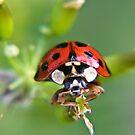Ladybug by Vicki Field