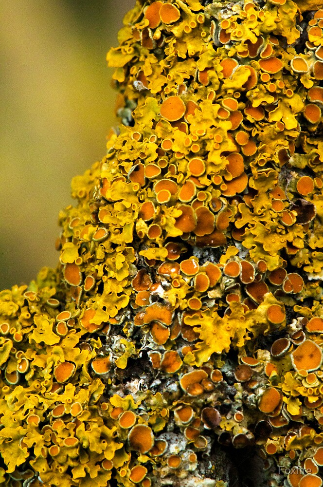 Lichen (could be Xanthoria polycarpa by Foxfire