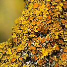 Lichen (could be Xanthoria polycarpa by Foxfire