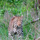The elusive leopard by irontesh