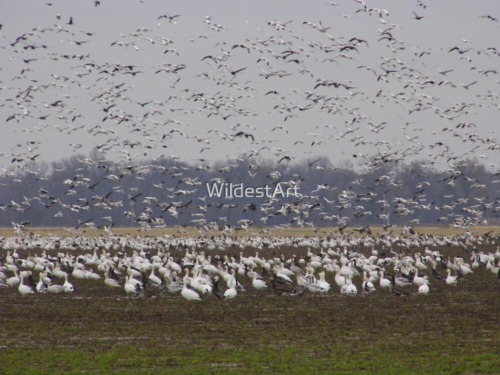 Geese Gaggle by WildestArt