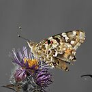 Painted Lady by Robin Clifton