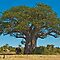 Southern African Trees