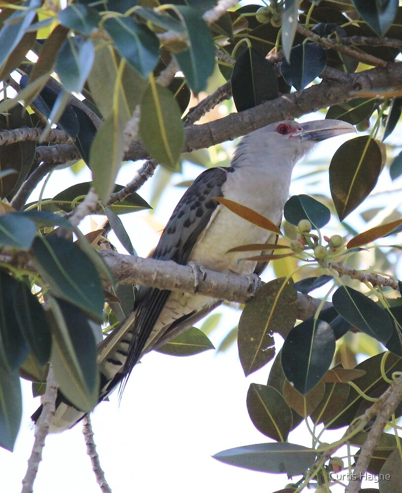 Channel-billed Cuckoo by Curtis Hayne
