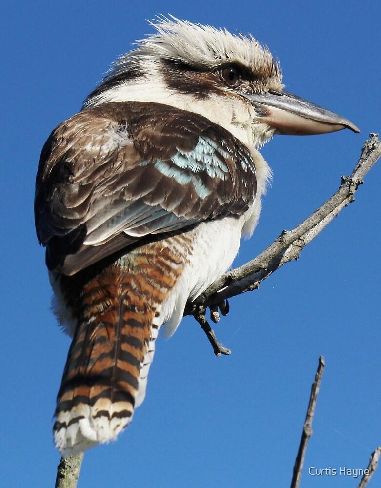 Laughing Kookaburra by Curtis Hayne