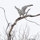 Gyrfalcon Taking Flight by Todd Weeks