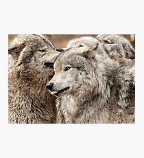 Wolf Pack at Play Photographic Print