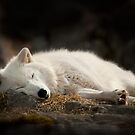 Tranquilty of the Arctic Wolf  by Bill Maynard
