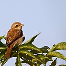 Brown Shrike in the evening Sun by Janika