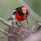 Red-capped Robin by bowenite