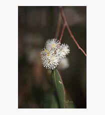 Flowering Eucalyptus Photographic Print