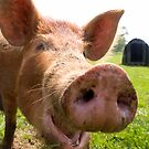A happy Tamworth pig by Robert Down