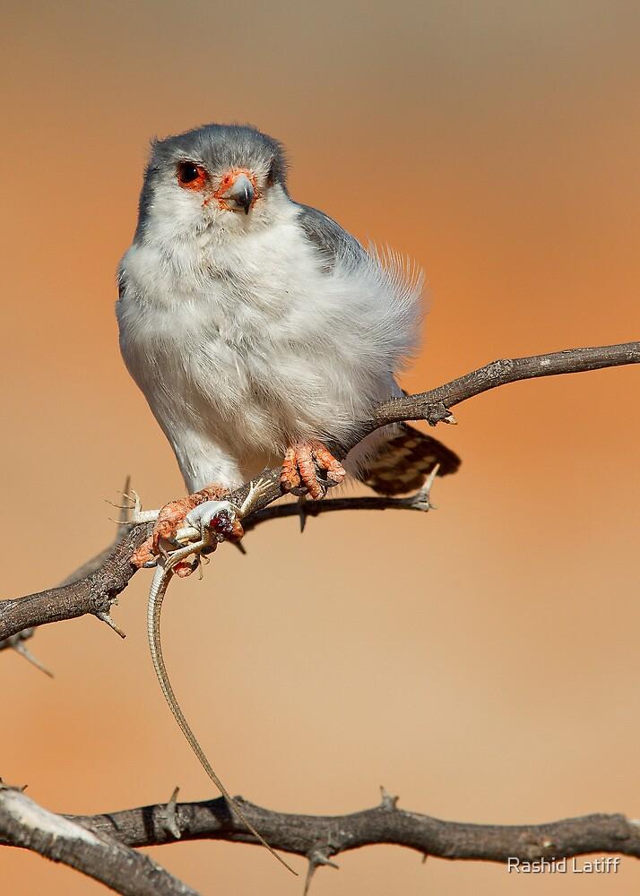 African Pygmy Falcon With Catch by Rashid Latiff