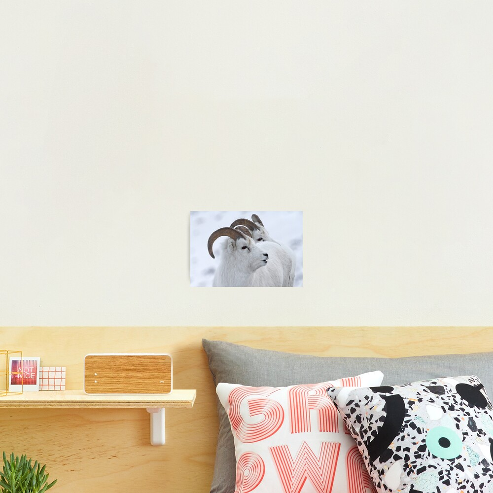 A Sheepish Smile Photographic Print