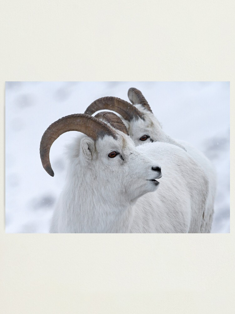 Alternate view of A Sheepish Smile Photographic Print