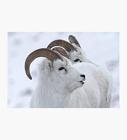 A Sheepish Smile Photographic Print