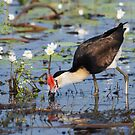 Jacana feeds at Knuckey Lagoon by Keith McGuinness