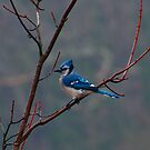 Blue Jay Standing Tall by browncardinal8