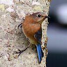 Male Eastern Bluebird by Penny Odom