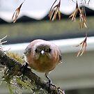 Female Eastern Bluebird by Penny Odom