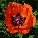 Big Red Poppy by Lynn Bolt