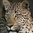 Leopard/duiker interaction 1( i am hunting tonight!) by jozi1