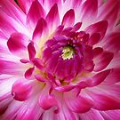 Surprise: the first dahlia in my garden by bubblehex08